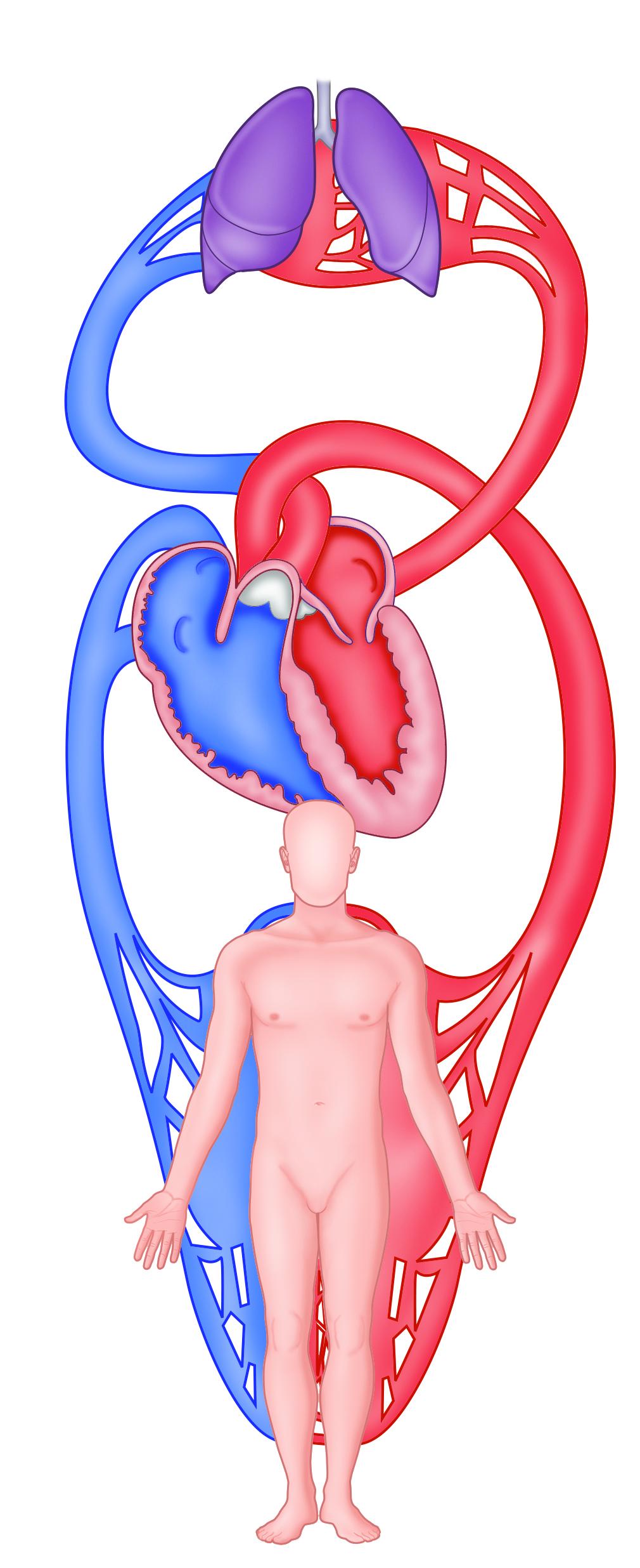 hjertet og kredsløb