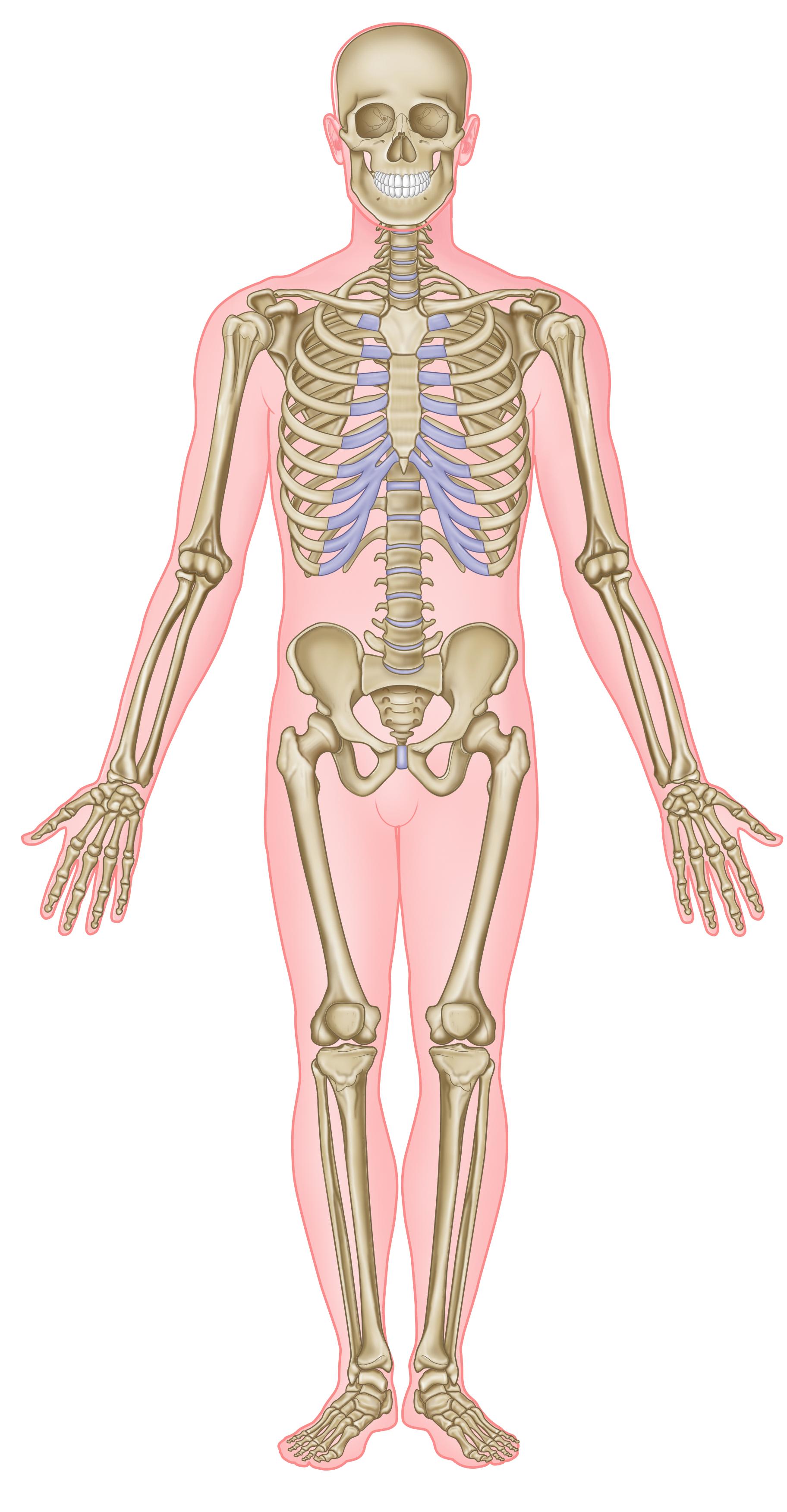 knogler i kroppen hvor mange