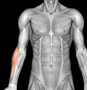hvad er en muskel