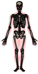 hvad hedder knoglerne